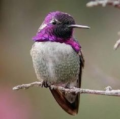 Purple and gray hummingbird
