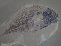 Allenypterus montanus Melton, 1969