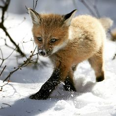 . Baby fox.  Photography By @ (Denis Dumoulin). Baby fox in the snow. canada…