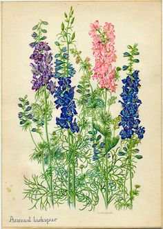 Annual Larkspur Vintage Botanical Illustration by Edith Johnston from A Book Of Garden Flowers