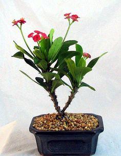 Red Crown Bonsai   #bonsai
