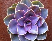 This succulent is a beautifully colored Echeveria hybrid. The plant is a hybrid of E. Gibbiflora v. Metallica and E. Potosina. These plants are
