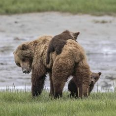 bear sow and two cubs Cute Wild Animals, Large Animals, Animals And Pets, Baby Animals, Funny Animals, Cute Animal Photos, Animal Pictures, Cute Pictures, Beautiful Creatures