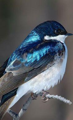 Tree Swallow.