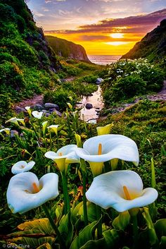 In Big Sur California, There's a Valley Leading to the Beach Lined with Wild Calla Lilies   Wave Avenue
