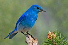 State Bird of Nevada: Mountain Bluebird (Sialia currucoides). Access Nevada official bird's description, history, and picture. Pretty Birds, Love Birds, Beautiful Birds, Beautiful People, Beautiful Pictures, Idaho, List Of Birds, State Birds, Bluebirds