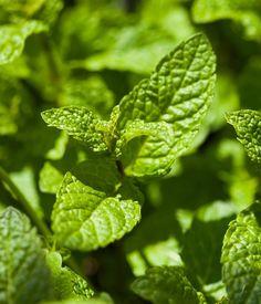 Remplacer l'insecticide anti-fourmi par des aromates