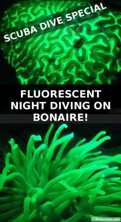 New Dive Experience: Fluorescent Night Diving on Bonaire! Imagine yourself diving in a psychedelic rave party underwater searching for fluorescent critters and mind-blowing corals! UV night diving explained + simple photography tips. Scuba Diving Pictures, Scuba Diving Quotes, Underwater Pictures, Best Scuba Diving, Scuba Diving Gear, Cave Diving, Scuba Travel, Scuba Diving Certification, Diving Springboard