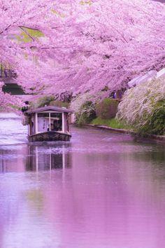 Le japon et ses fleurs de cerisier