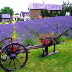 Provence must be the best smelling place on earth! Provence must be the best smelling place on earth Lavender Cottage, Lavender Garden, French Lavender, Lavender Blue, Lavender Fields, Lavender Flowers, Love Flowers, Beautiful Flowers, Beautiful Places