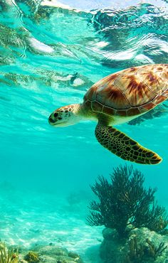 This sea turtle swims through the warm blue waters of the Caribbean. You can splash and swim in the sea, too, if you use a Groupon to book one of these vacations to Cancun and Punta Cana. #GrouponGetaways