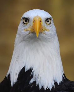 ~~Eagle by Saffron Blaze~~