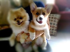 10 Best Corgi Images On Pinterest Corgi Mix Cute Puppies And Animaux