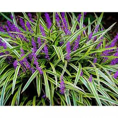 6 Big Variegated Liriope Muscari Plants Beautiful Stripes NOT CHOPPED OFF Adult Garden Perennials