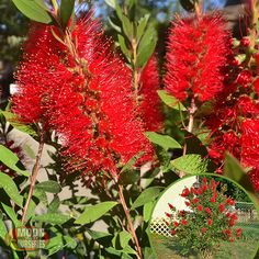 Bottlebrush trees have strong trunks and canopies that can easily withstand strong desert Monsoon winds. They grow to a medium large height creating a sun blocking filter that provides shaded relief and cooler temperatures to its surrounding environment. Bottlebrush trees bright red flowers make a fantastic focal point to any landscape and are a must have if you have a tropical themed front or backyard design. These trees are drought tolerant and thrive in hot, dry climates in Arizona.