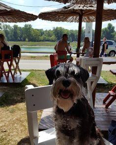 """13 Likes, 3 Comments - 👑 Zivas' den 👑 (@ineinne) on Instagram: """"Coffee time #zivathequeen #lake #Jarun #jarunlake #summer #coffee #schnauzer #blackandsilver…"""""""