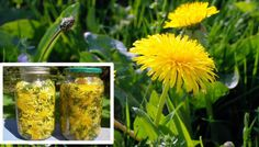 Cholesterol Cure - Even though considered a weed, dandelion root has a long history of therapeutic use. In fact, this extremely beneficial plant has the ability to treat allergies, lower cholesterol levels, stimulate the. - The One Food Cholesterol Cure Natural Cures, Natural Healing, Cholesterol Levels, The Cure, Cancer Treatment, Cancer Cure, Cancer Cells, Medicinal Plants, Health Tips