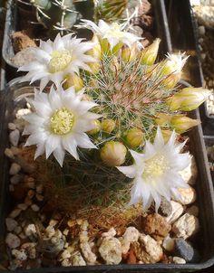 Mammillaria zeilmanniana v. albiflora della famiglia delle Cactacee