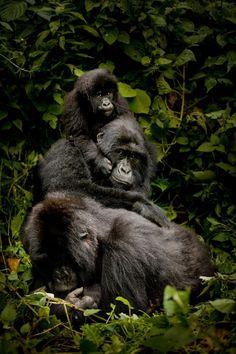 Gorilla en la niebla online dating