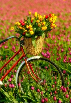 Red Bike with a basket of tulips