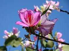 Bauhinia variegata, Árvore-de-orquídeas, Árvore-orquídea, Casco-de-vaca, Casco-de-vaca-lilás, Pata-de-vaca-lilás, Mororó, Bauínia, Pé-de-boi, Pata-de-vaca-rosa