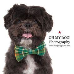 """Kukui could be the next #GQ #covermodel. #ohmydogphotography #dog #sandiegodog #shithtzu #bowtie #bowtiesarecool #photooftheday"" Photo taken by @ohmydogphoto on Instagram, pinned via the InstaPin iOS App! http://www.instapinapp.com (03/21/2015)"