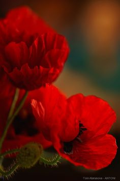 Poppies in May by  ANTONI on 500px
