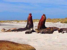 Sea Lion Island, Falkland Islands, elephant seals, fighting