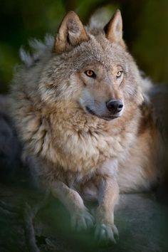 Beautiful wolf