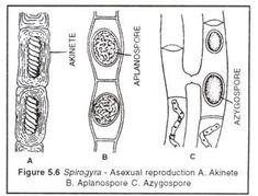 Fern Life Cycle | Plant Diversity I