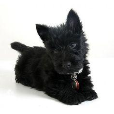 Scottie pup