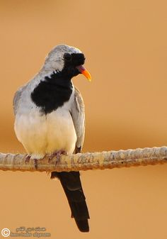 Namaqua Dove(Oena Capensis) photographed by Bader Al-Qassem in Saudi Arabia Exotic Birds, Colorful Birds, Bird Pictures, Pictures To Draw, Farm Animals, Animals And Pets, Most Beautiful Birds, Pretty Birds, Dove Pigeon