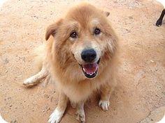 10/23/ 14 Greenville, SC - Samoyed/Golden Retriever Mix. Meet Bogart, a dog for adoption. http://www.adoptapet.com/pet/11798414-greenville-south-carolina-samoyed-mix