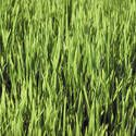 """Lawn--Feeding Your Lawn--Every spring remove dead grass with a rake, aerate, & apply compost. Fertilize right before it rains. Do not over fertilize. Water deep in the Spring to promote deep roots. Never mow more than 1/3 of the total grass height & mow when grass is dry. The best time to reseed the lawn is in the Fall (not competing with weeds for nutrients) Water daily 1-2 weeks, and lightly fertilize after grass has reached 1"""""""