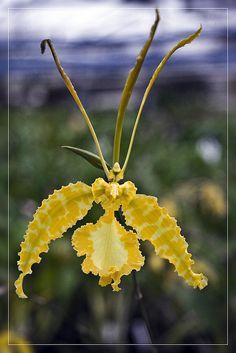 czar orchidei by rafal kochanowski, via Flickr