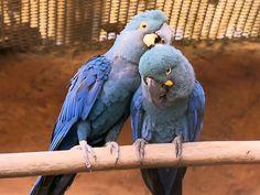 O casal que gerou os filhotes de arara azul no Zoológico de São Paulo (Foto: TV Globo/Reprodução)