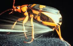 Bombardier Beetle by apologeticspress.org. Photo  by Thomas Eisner: The bombardier beetle defends itself by squirting predators (ants, frogs, spiders) with a high-pressure jet of boiling liquid in a rapid-fire action called pulse combustion. Hydroquinones and hydrogen peroxide produced by the beetle are oxidized causing release of free oxygen and irritating p-benzoquinones which are sprayed at at 100° C!—in a pulse-like fashion at a rate of 500 pulses per second . #Bombardier_Beetle