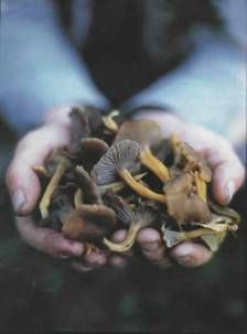 a handful of winter chanterelles. Photograph by Jonathan Gregson