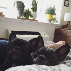 'Two frenchies in a blanket', French Bulldog Puppies in Brooklyn, #BlueFrenchBulldog #FrenchBulldog #Frenchton #BostonTerrier #LoveABully #SquishyFace #BatPig #NYCFrenchie #NYCFrenchies #FrenchieFanatic #TheWorldOfBullies #TheFrenchiePost #BrooklynFrenchies