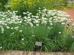 Garlic chives Garlic Chives, London Garden, Survival Stuff, Wild Edibles, Garden Care, Growing Herbs, Urban Farming, Edible Garden, Medicinal Plants