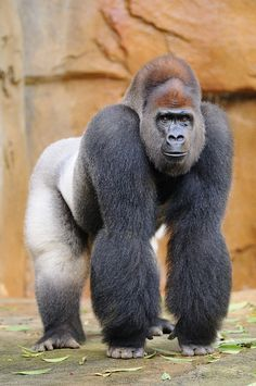 Silverback Gorilla - wouldn't you just die?  I mean your heart would explode coming face to face with one of these!  OH MY GOSH!