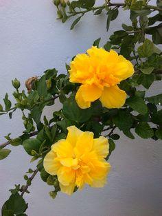 detalle de dos flores amarillas de un pacífico del jardín