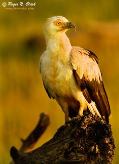 The palm-nut vulture or vulturine fish eagle, is a large bird of prey. Unusual for birds of prey as it feeds mainly on the fruit of the oil palm, though it also feeds on crabs, molluscs, locusts, fish and has been known to occasionally attack domestic poultry.