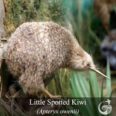 Featured Bird | Little Spotted Kiwi (Apteryx owenii)