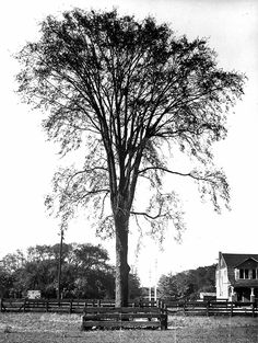 elm tree picture - Google Search