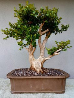 Picture 3 - I repotted my Boxwood pre-bonsai. I chose a rectangular unglazed bonsai pot. I used a soil mix consisting of Akadama, Pumice and Lava.