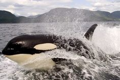 Love them in the wild, boycott Sea World!!