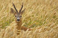 (via 500px / Roe deer buck by Bernard Stam)