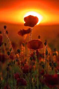 Poppy Sunset | by Julian Barker #Poppy