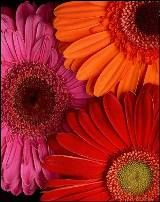 7 Flowers to Color Your Mood by Jayme Barrett - Feng Shui Your Life pinned with @PinvolveLove
